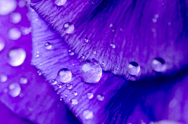 花びらの水滴