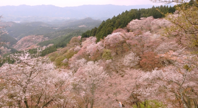 奈良県、吉野山の桜