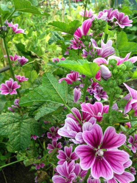 タチアオイ 花